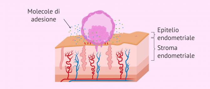 Imagen: Adesione dell'embrione