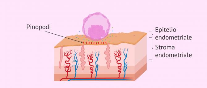 Imagen: Apposizione dell'embrione