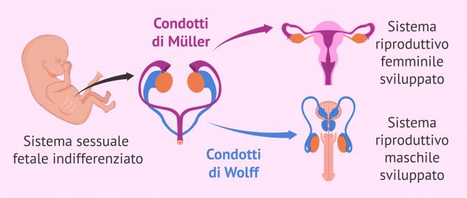Imagen: Differenziazione sessuale fetale