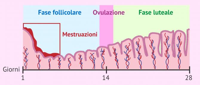 Imagen: Cambiamenti nell'endometrio durante il ciclo mestruale