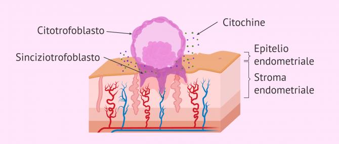 Imagen: Invasione di embrioni