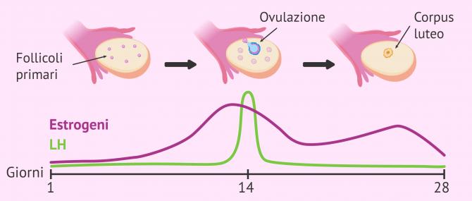 Imagen: Funzione di LH nel ciclo mestruale