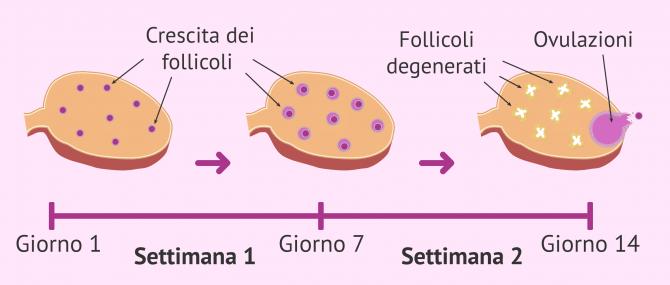 Imagen: Reclutamento follicolare nell'ovaio