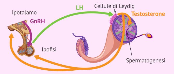 Ormone luteinizzante (LH): quali sono le sue funzioni nel ciclo riproduttivo?