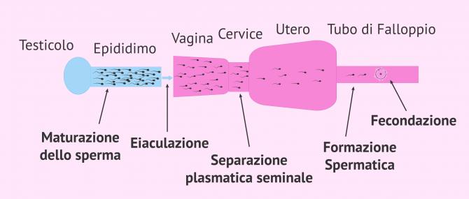 Imagen: Capacitazione naturale dello sperma