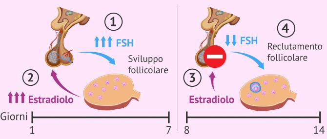Imagen: Fase follicolare del ciclo mestruale